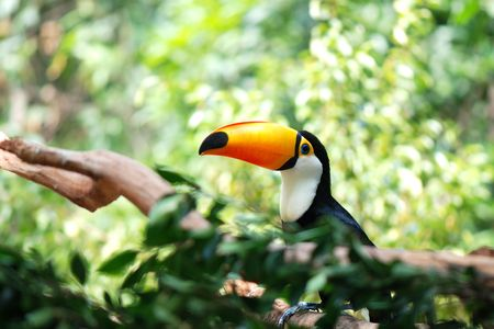 Toco Toucan (Ramphastos toco) Stock Photo - 5716270