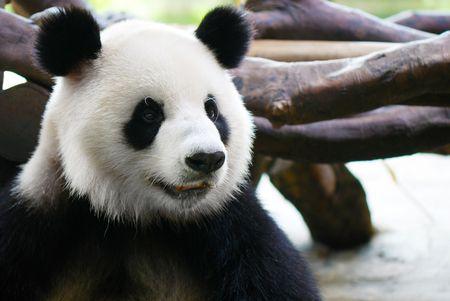 Panda photo