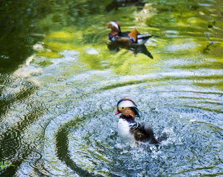mandarina: Mandarina Duck