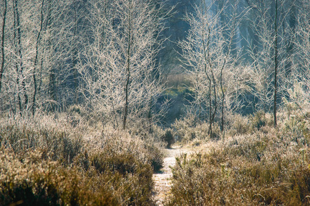 unclear: Grass plants and frosted trees on the side of a small forrest trail