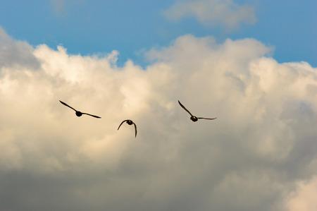 Mallard ducks flying silhouette to a cloud in the background Zdjęcie Seryjne