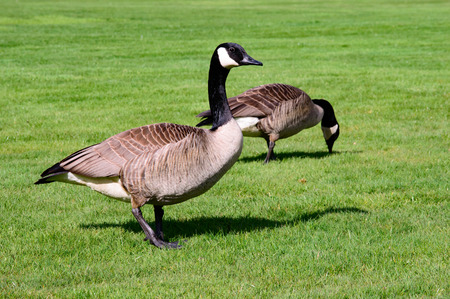 Couple of Canada geese feeding on a fresh green grass field