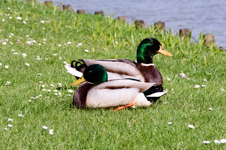 Two wild mallard ducks resting in the sun on fresh green grass next to a lake