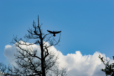 spread wings: Silhouette of a large bird landing on a tree with spread wings and evening blue sky with some clouds
