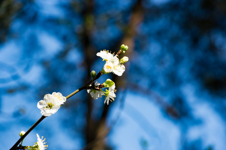 Beautiful white blossom flowers growing on a branch with fresh blue colors in the background