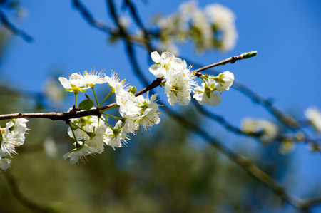 Beautiful white blossom flowers growing on a couple of branchesh with blue and green in the background Zdjęcie Seryjne