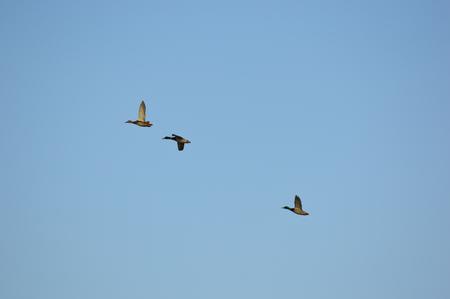 Mallard ducks flying and climbing to a higher altitude Zdjęcie Seryjne