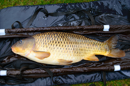 invasive: Close up on large dead carp fish on brown and blue tarp. Carp are an invasive species in North America.