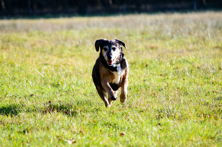 streaking: Cute dog running ahead in grass with beautiful sunlight streaking across the background with copy space Stock Photo