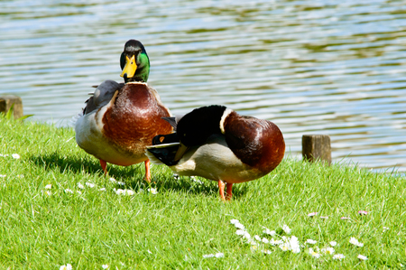 duck feet: Pair of cute mallard ducks preening themselves and walking near pond with copy space over water