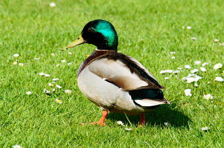 the throughout: Single male mallard duck walking in grass with little white flowers scattered throughout Stock Photo