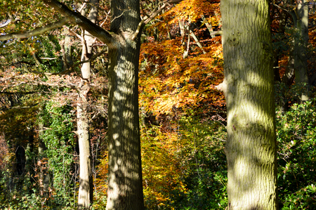 dappled: Dappled sunlight on the trunks of trees in an autumn forest with colorful fall leaves on the trees behind