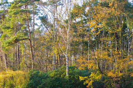 changing seasons: Colorful yellow autumn foliage on woodland trees showing the changing seasons and life cycle of deciduous trees in a scenic landscape