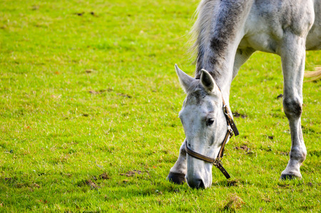 dappled: Dappled grey horse in a halter grazing on green grass in a paddock outdoors, close up head shot with copy space Stock Photo