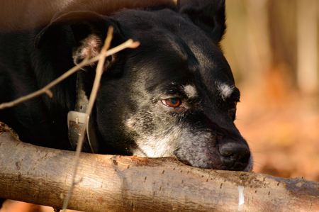 absorbed: Black American Staffordshire terrier chewing on a branch of a fallen tree in woodland, close up view of the face