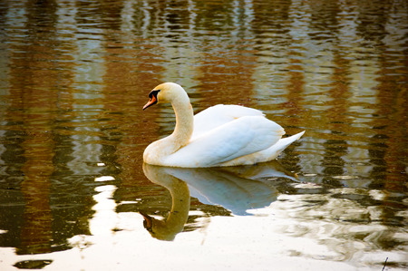 water wings: Beautiful white swan reflected in water as it swims on a lake with its wings slightly raised, side view with copy space