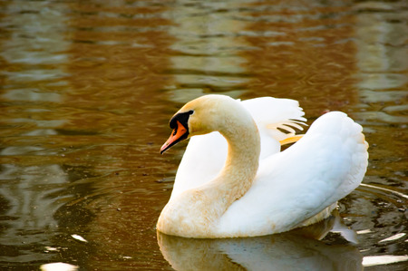 water wings: Graceful adult white swan swimming on a lake with its wings raised on rippling autumn colored water with copy space Stock Photo