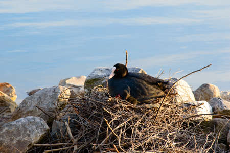 moorhen: Moorhen with chicks sitting on a nest of twigs built alongside rocks on a tranquil lake , close up side view