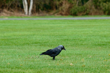 foraging: Single large black crow foraging on green grass standing sideways on a lawn with copy space