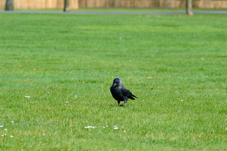 short cut: Single black crow walking on short cut green grass in a field or garden approaching the camera, with copy space Stock Photo