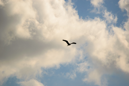large bird: Single large bird flying in blue sky filled with scattered white clouds and copy space