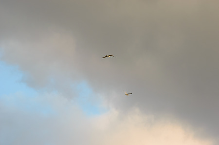 Pair of large predator type birds flying under gray clouds with hints of blue sky peeking through