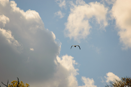 large bird: Single large bird with wings down as it is flying in blue sky filled with scattered white clouds and copy space