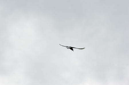 large bird: Rear view on single large bird in flight under gray sky with copy space around him