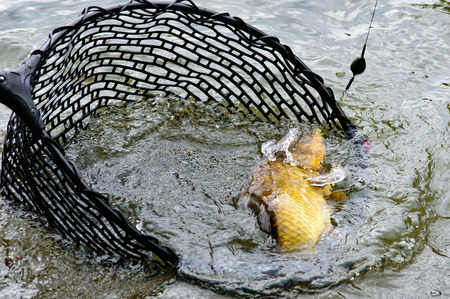 hooked up: Large hooked carp still attached to the line and hook being landed in a fishing net in a lake, close up view Stock Photo