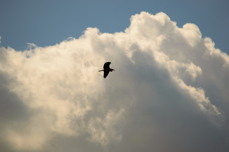 wingspan: Silhouette of a bird flying across a towering white cumulus cloud formation in a clear sunny blue sky