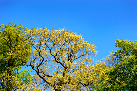 changing seasons: Fresh spring foliage on a tree in a park marking the changing seasons with a view of the tree canopy against a clear sunny blue sky