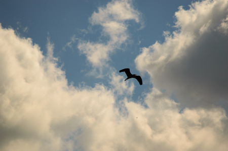 obscuring: Silhouette of a bird flying high in the sky with gathering storm clouds obscuring the clear sunny blue sky behind