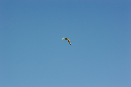 large bird: Centered composed lonely large bird in flight under clear blue sky with copy space