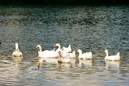Gaggle of white geese swimming on top of rippled lake with copy space below and beneath them Zdjęcie Seryjne