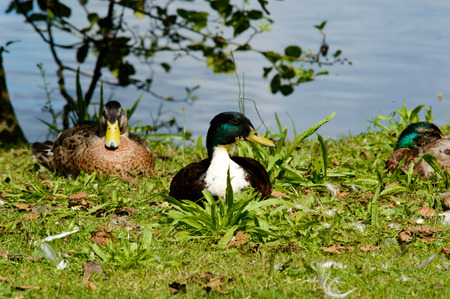 Pair of mallard ducks on a bank of a pond or lake resting on the grass in the sunshineand looking to the side