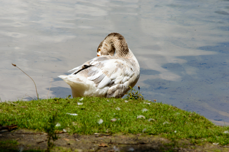 knoll: Beautiful white and gray goose preening himself while standing on grassy knoll near calm pond water