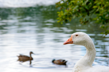 Profile of white feathered duck looking over smaller mallard type birds swimming nearby in lake under tree