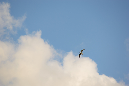 Solitary wild bird flying up in the air against a blue sky with fluffy white clouds