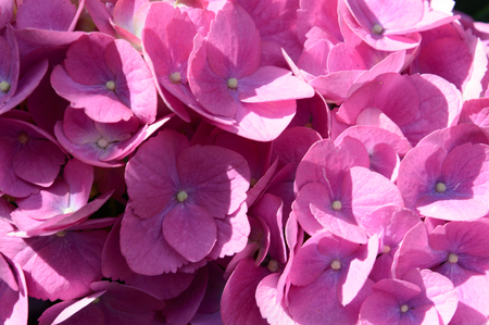 Colorful purple pink hydrangea head with its dense cluster of small flowers in bright summer sunshine, close up detail