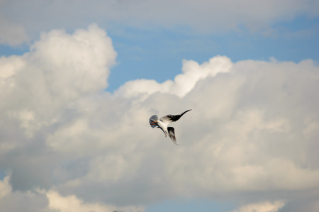 Seagull taking a sharp turn in mid flight preparing to dive