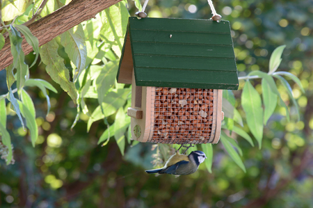 Adorable cyanistes caeruleus bluetit bird feeding hanging on the bottom of a feeder in a garden tree