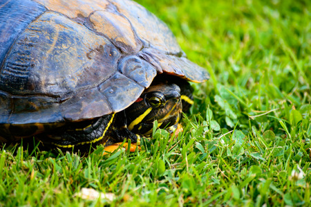 Red eared turtle hiding in its shell close up on green grass Zdjęcie Seryjne