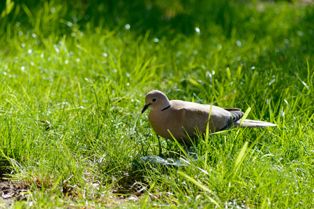 Wild forrest pigeon looking for seeds to eat in the fresh green grass on a sunny day Zdjęcie Seryjne