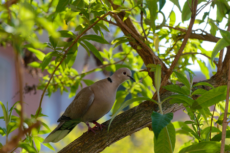 beak pigeon: Wild forrest pigeon perched in a garden tree looking at the camera right side profile view