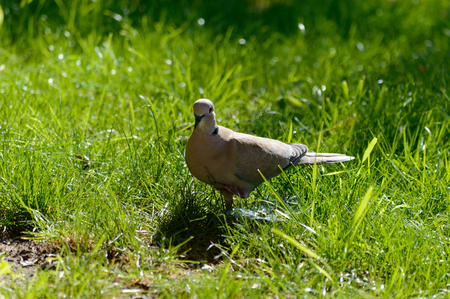 Wild forrest pigeon standing on one leg looking at the camera in fresh green grass on a sunny day Zdjęcie Seryjne
