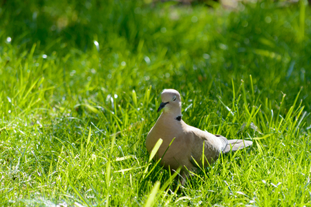 sitting on the ground: Wild forrest pigeon relaxing in the sun standing on fresh green grass