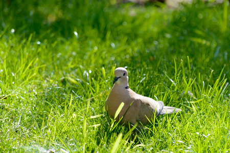Wild forrest pigeon standing in the sun on fresh green grass looking at the camera Zdjęcie Seryjne