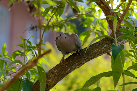 Wild forrest pigeon perched on a branch in a garden tree looking at the camera front view