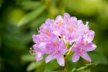 Beautiful fresh rododendron flower on a blurred green plants background close up Zdjęcie Seryjne
