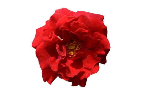 Single red rose flower top view isolated on a white background